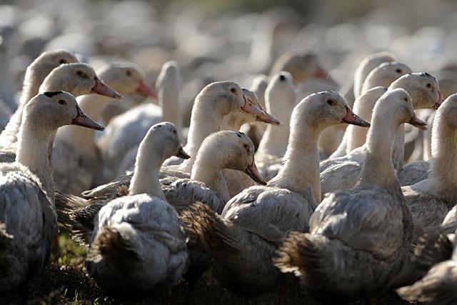 Ouf ! Viandes et foies gras pourront être normalement commercialisés...|Photo DR