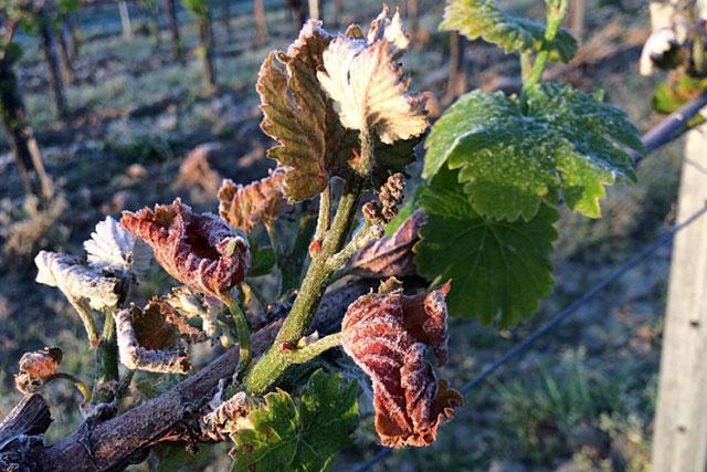 Tout le vignoble de la région avait été touché par le gel.|Photo DR